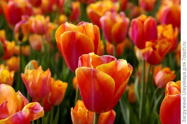 Тюльпан садовый сорт Dynasty Orange