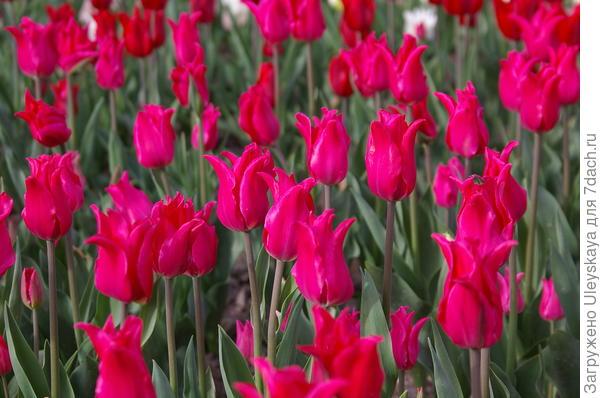 Тюльпан садовый сорт Lilyrosa