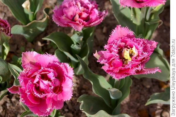Тюльпан садовый сорт Crispion Dark