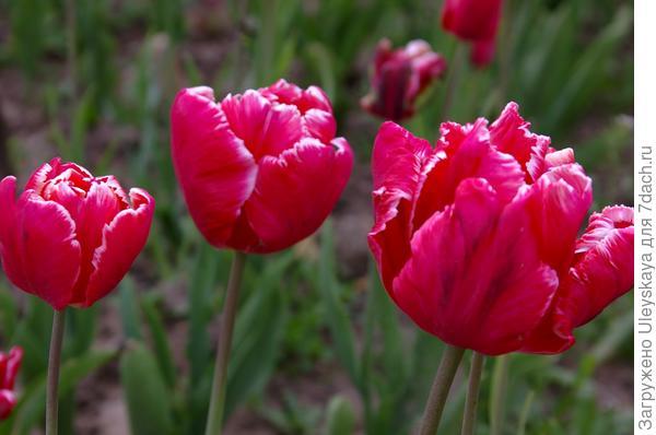Тюльпан садовый сорт Estella Rijnveld