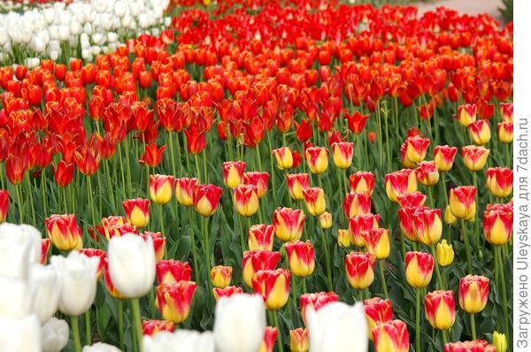 Участники Парада тюльпанов