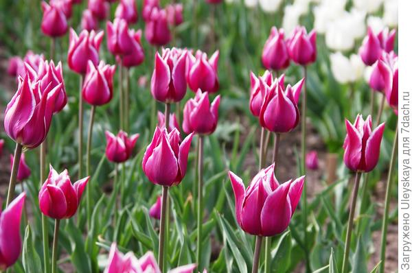 Тюльпан садовый сорт Ballade