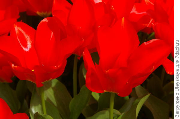 Тюльпан садовый сорт Agamemnon