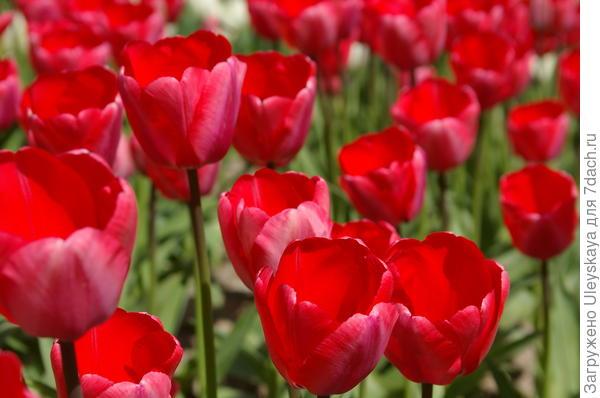 Тюльпан садовый сорт Holland Beauty