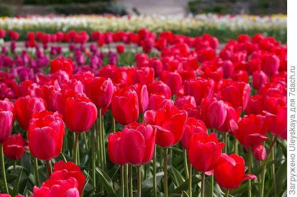 Более 70 тысяч луковиц высажено на выставке тюльпанов в Крыму