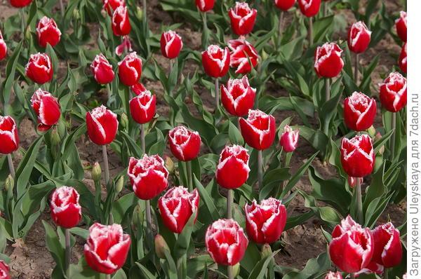 Тюльпан садовый сорт Queensland