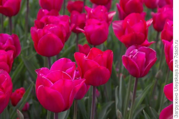 Тюльпан садовый сорт Roussillon