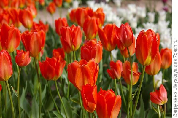 Тюльпан садовый сорт Albert Heijn
