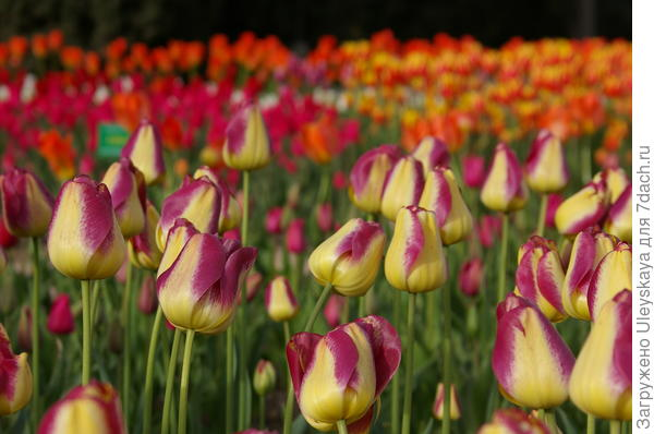 Тюльпан садовый сорт-новинка Royal Cift