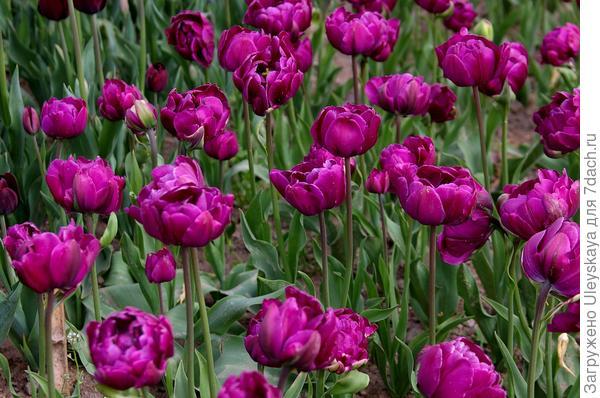 Тюльпан садовый сорт Blue Diamond