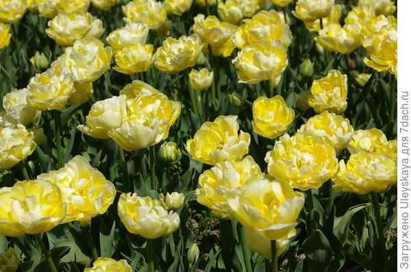 Тюльпан садовый сорт Monte Sweet;