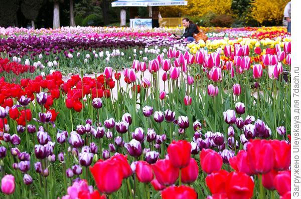 Разнообразие тюльпанов поражает