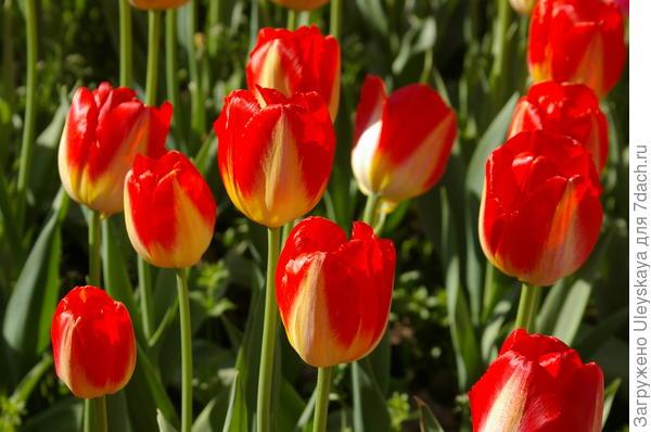Тюльпан садовый сорт Cape Town