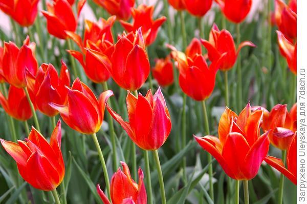 Тюльпан садовый сорт Ballade Orange