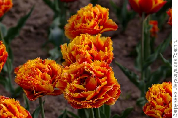 Тюльпан садовый сорт Sensual Touch