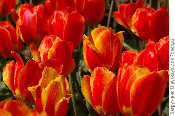 Тюльпан садовый сорт Andre Citroen