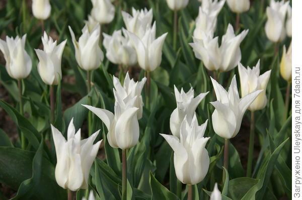 Тюльпан садовый сорт Saporro