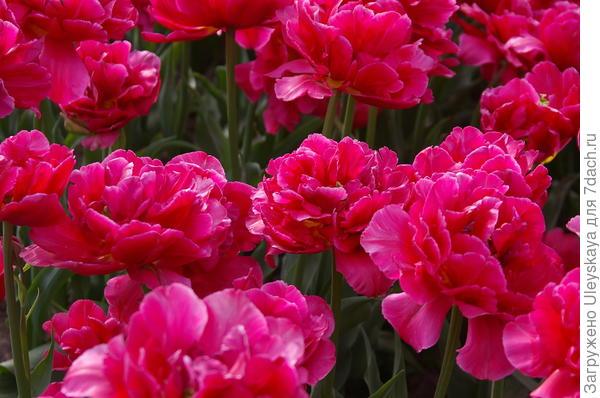 Тюльпан садовый сорт Chato