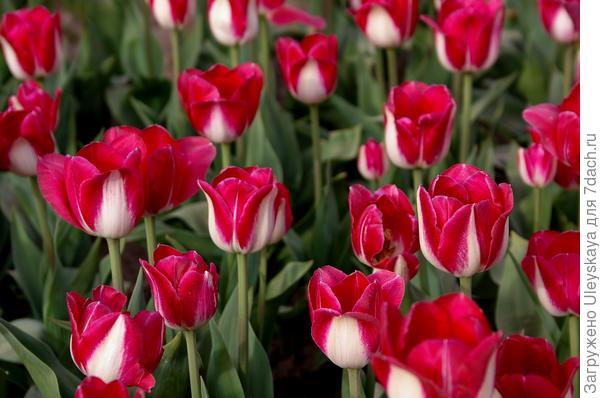 Тюльпан садовый сорт Toucan