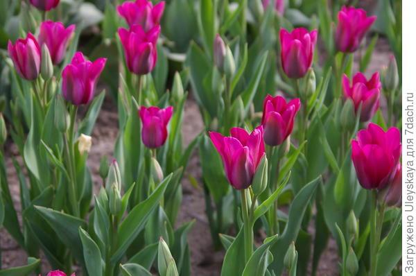Тюльпан садовый сорт Purple Bouquet