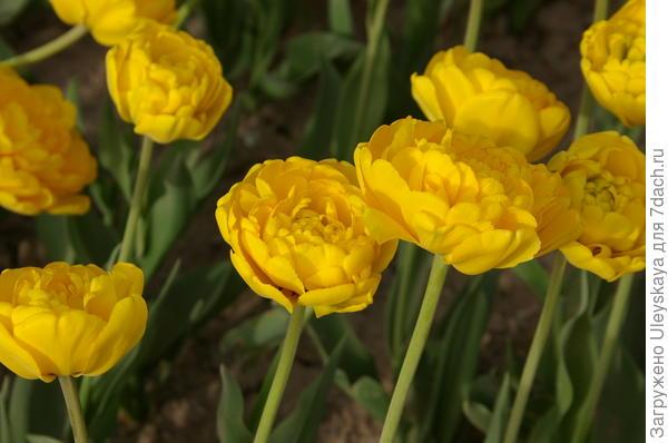 Тюльпан садовый сорт Aquilla