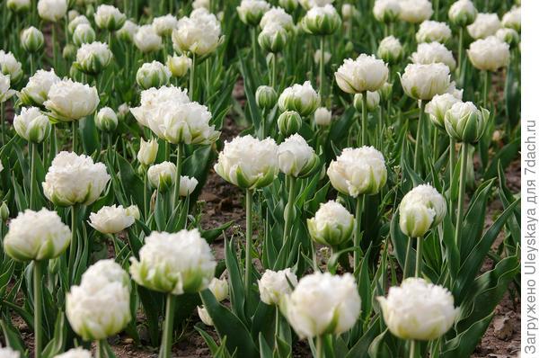 Тюльпан садовый сорт Crispion Love