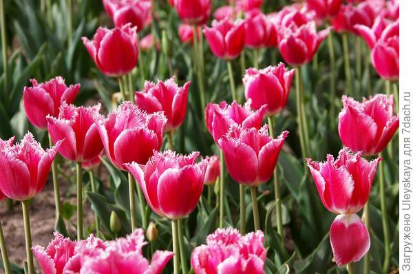 Тюльпан садовый сорт Aria Card