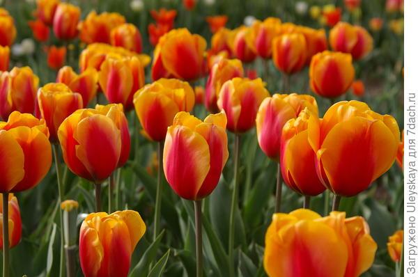 Тюльпан садовый сорт-новинка Cash