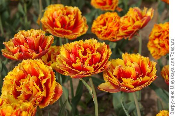 Тюльпан садовый сорт Crispion Beauty