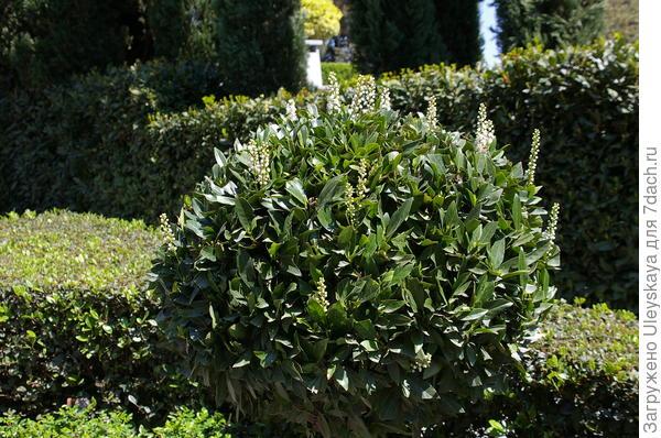 Цветет лавровишня лекарственная. При стрижке ее более редкие соцветия издалека похожи на ландыши.