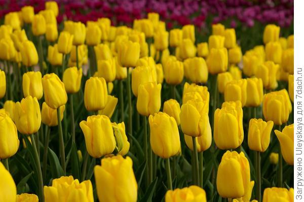 Тюльпан садовый сорт Caractere