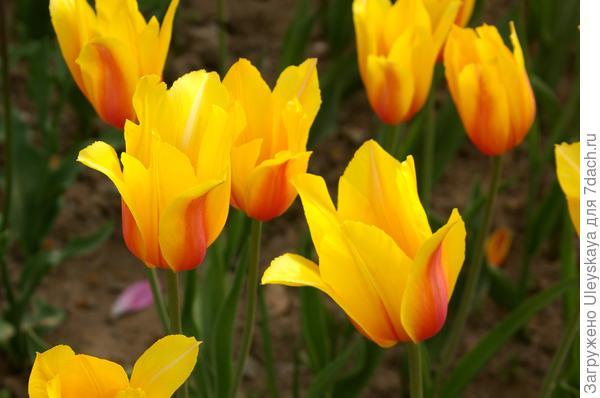 Тюльпан садовый сорт Hocus Pocus