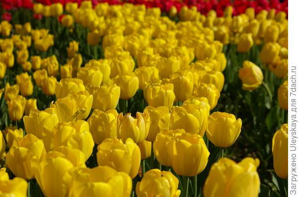 Желтые тюльпаны визуально приближают перспективу
