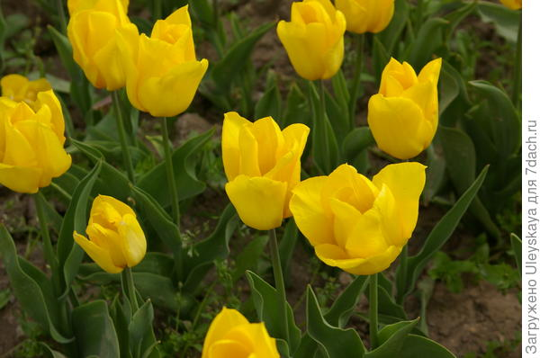 Тюльпан садовый сорт Hans Dietrich Genscher