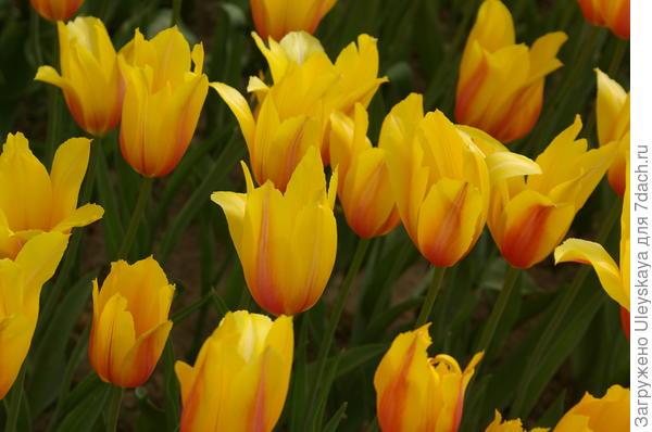 Тюльпан садовый сорт Long Lady