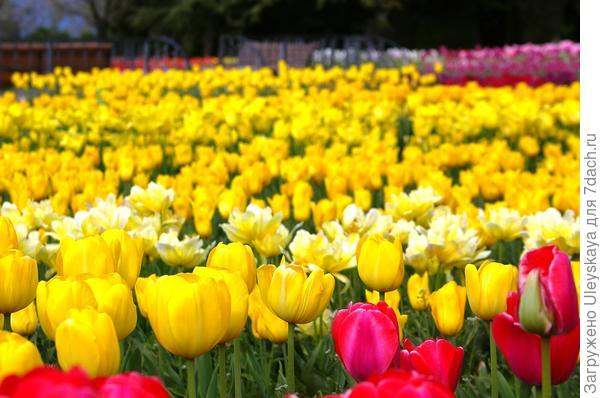 Цветут желтые тюльпаны, фото автора