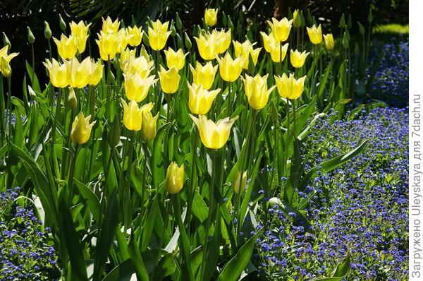 Желтые тюльпаны – весенние доминанты