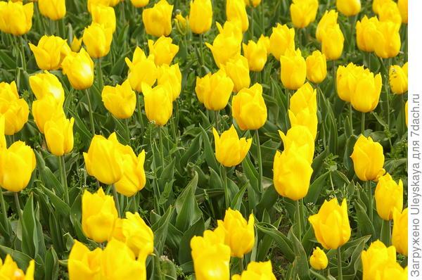 Тюльпан садовый сорт Yokohama