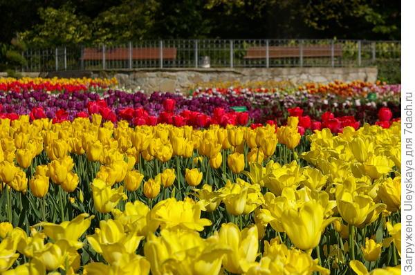Желтые тюльпаны наполнены солнечным светом