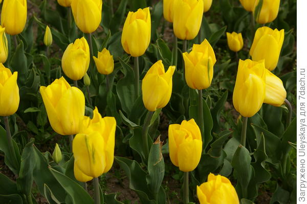 Тюльпан садовый сорт Strong Gold