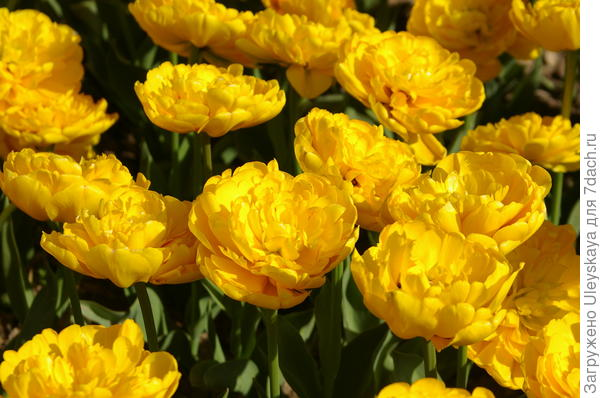 Желтые тюльпаны крупным планом