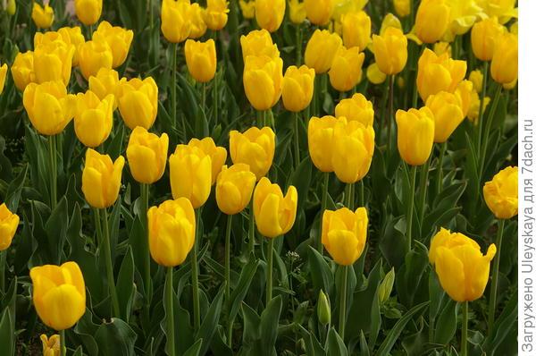 Тюльпан садовый сорт Golden Tycoon