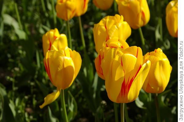 Тюльпан садовый сорт Helmar