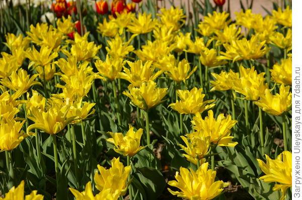 Тюльпан садовый сорт Monte Spider