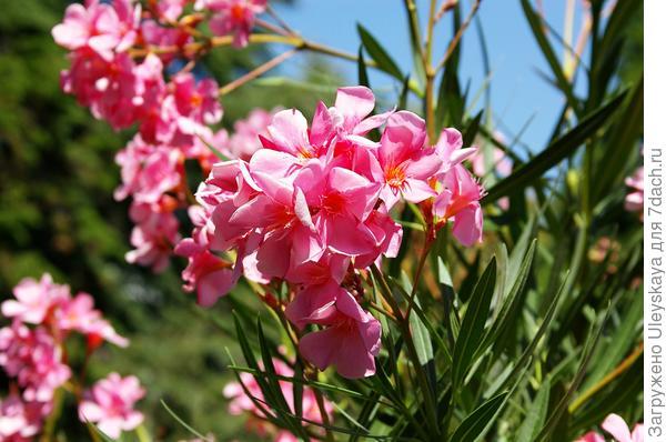 Цветение летом на юге олеандров завораживает своей красотой