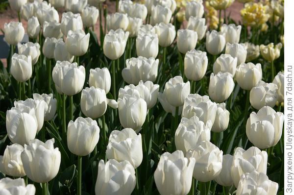 Тюльпан садовый сорт Mrs. Medvedeva