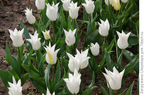Тюльпан садовый сорт Ballade White