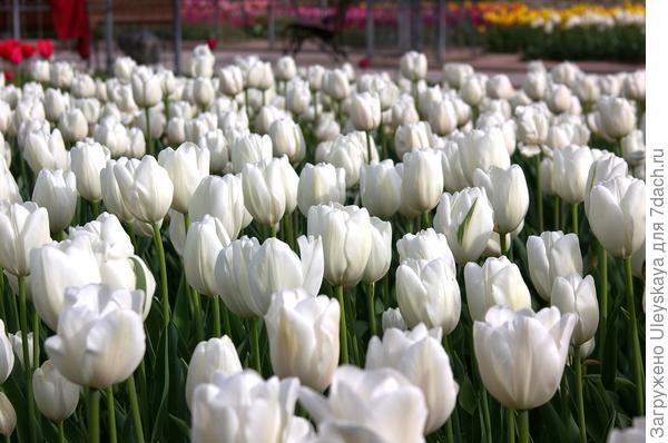 Тюльпан садовый сорт Snowhill