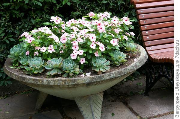 Катарантус розовый в садовом вазоне, фото автора