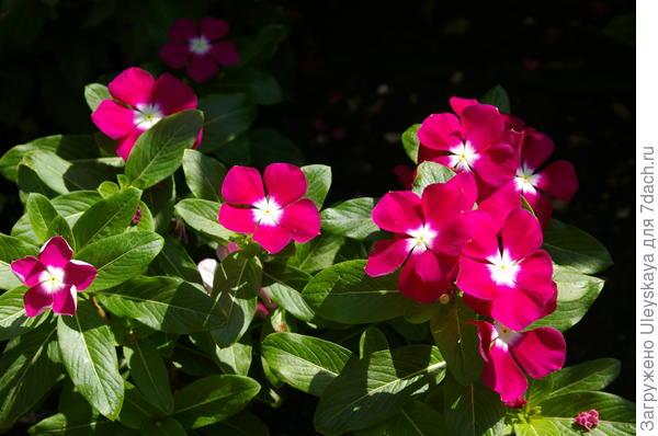 Катарантус розовый, фото автора